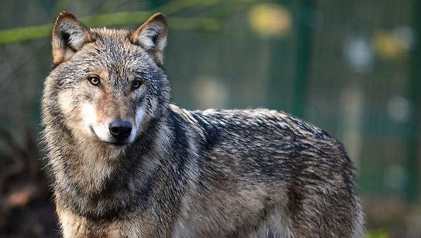 Grey wolf. Photo: Arne Von Brill, Flickr
