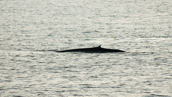 Whale outside Svalbard. Photo: Peter Prokosch, Grid Arendal